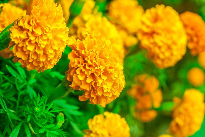 ดอกดาวเรือง2