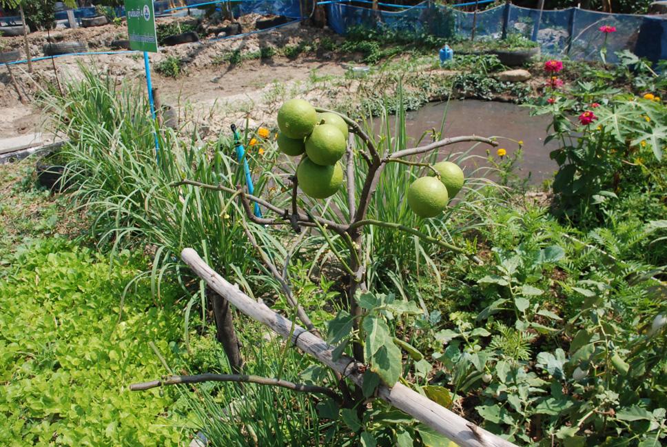 เกษตรต้นแบบชุมชนเมือง11