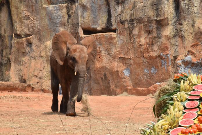 วันเกิดลูกช้างแอฟริกา-5