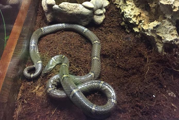 งูปี่แก้วไทรโยคสัตว์ค้นพบใหม่1