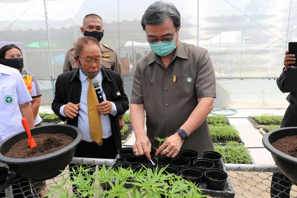 มทส. ปลูกกัญชาทางการแพทย์รุ่นแรกกว่า 3,000 ต้นเพื่อใช้ผลิตยาสมุนไพรไทย 9 ตำรับเชิงพาณิชย์เพิ่มมูลค่าทางเศรษฐกิจ