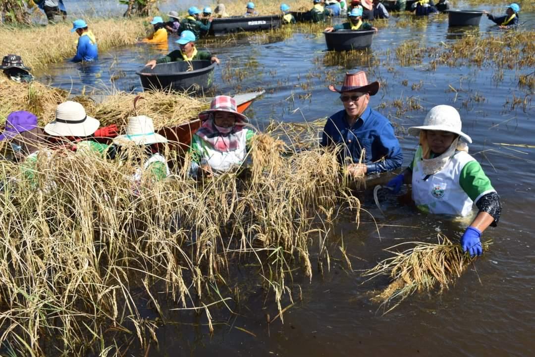 ลงแขกเกี่ยวข้าวน้ำท่วม! ชาวโคราชไม่ทิ้งกันรองผู้ว่าฯ ควงเกษตรจังหวัด ลุยน้ำเกี่ยวข้าวช่วยชาวนาโนนไทยน้ำท่วมสูง