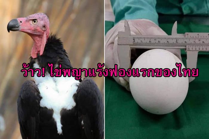 """ว้าว! ไข่ """"พญาแร้ง"""" ฟองแรกในรอบ 25 ปีของประเทศไทย สวนสัตว์โคราชทำสำเร็จ"""