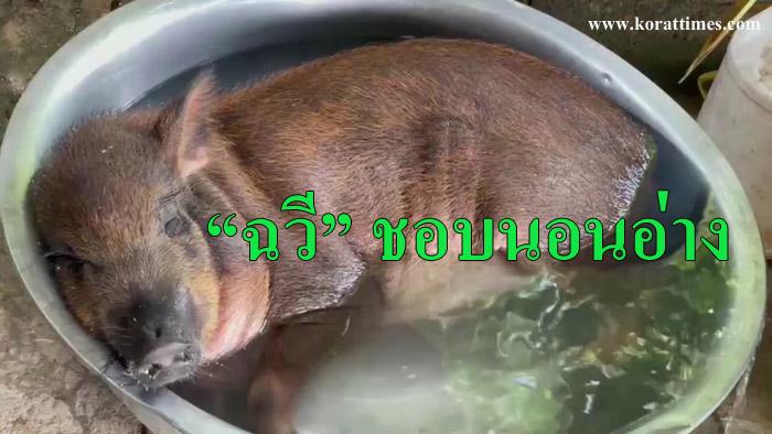 """ความสุขของ """"ฉวี"""" หมูป่าสุดน่ารักชอบอาบน้ำในกาละมัง (มีคลิป)"""