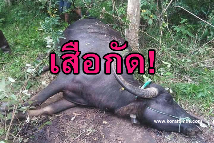 เสือกัด! ควายชาวบ้านครบุรีโคราช ถูกสัตว์นักล่ากัดตายสองตัวในรอบเดือน
